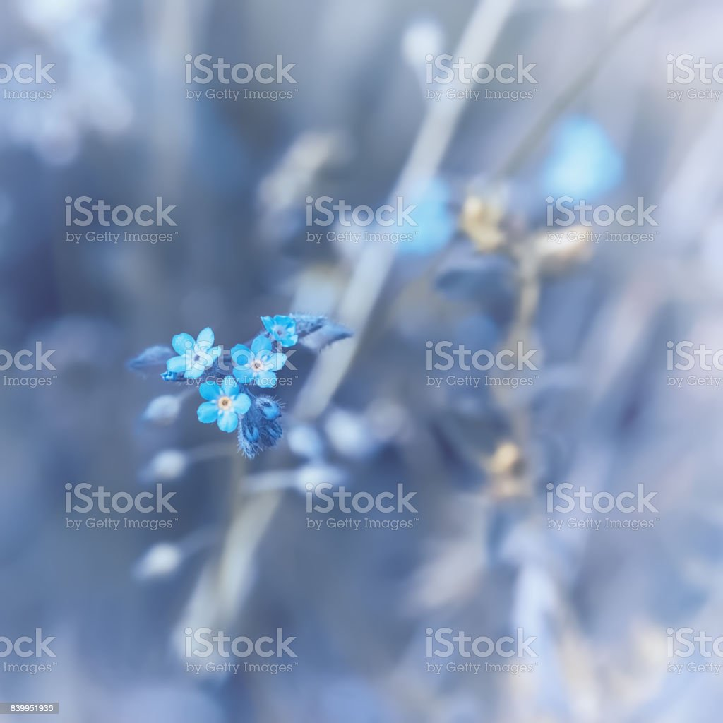 Woodland Forget-me-not Flowers stock photo