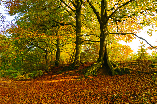 Woodland Glade and carpet of Red Leaves