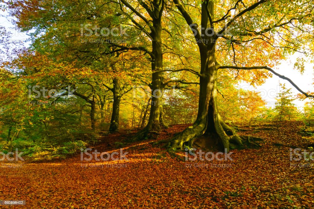 Woodland Glade and carpet of Red Leaves stock photo