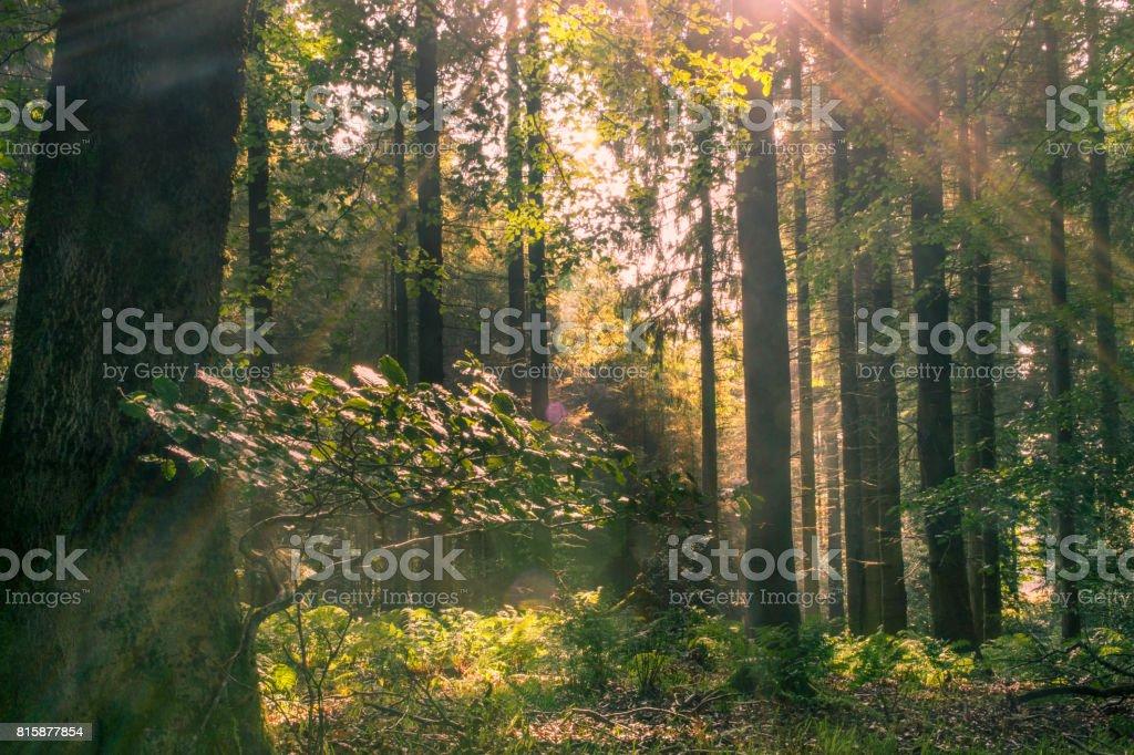 Woodland morning sunlight stock photo