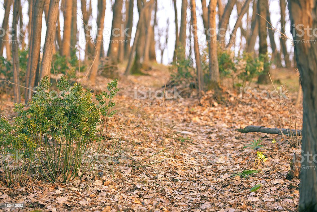 Woodland Path at Sunset in Early Spring royalty-free stock photo