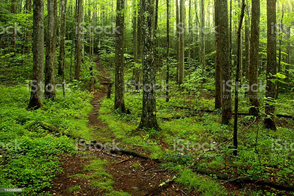 A woodland path going through the green forest stock photo