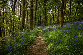 woodland path pathway through bluebell meadow woodland