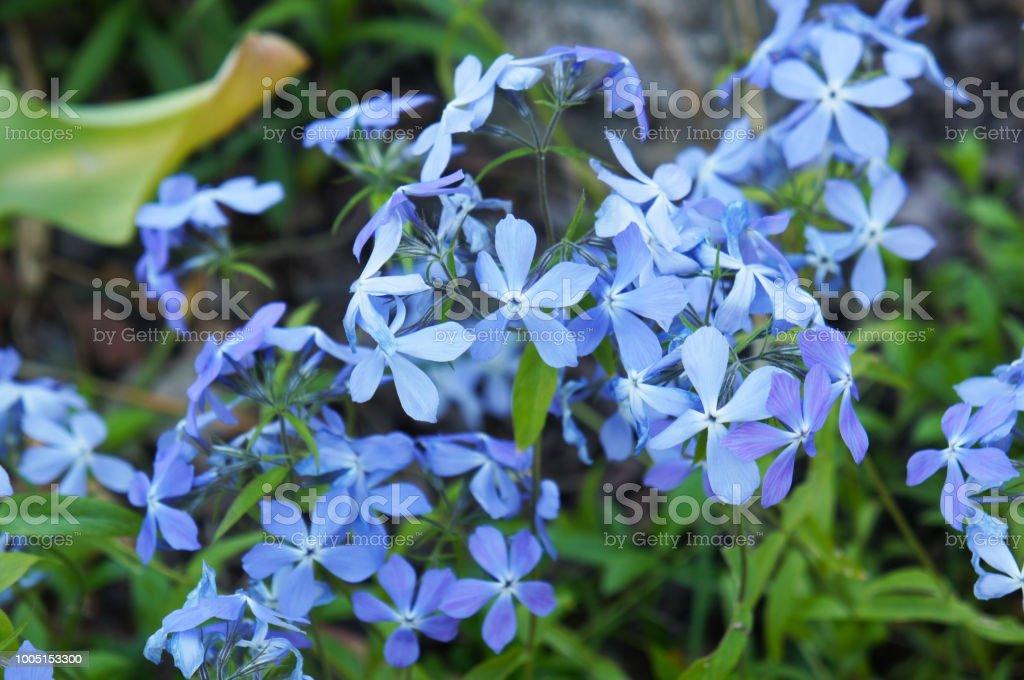 Woodland Phlox Or Phlox Divaricata Blue Flowers Stock Photo