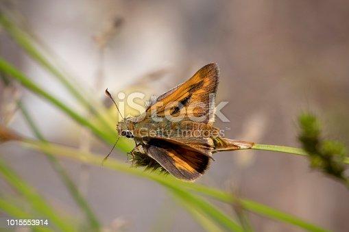 Woodland skipper butterfly, Ochlodes sylvanoides. Oregon Caves National Monument, Oregon, USA.