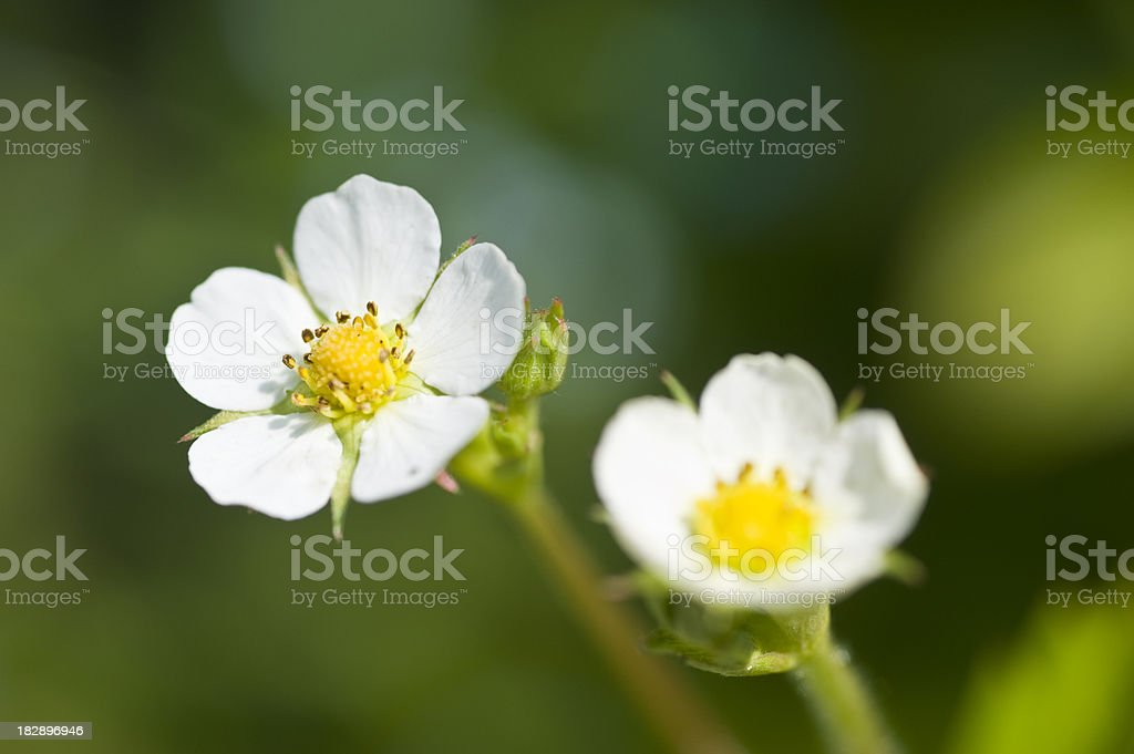 woodland strawberry blossoms stock photo