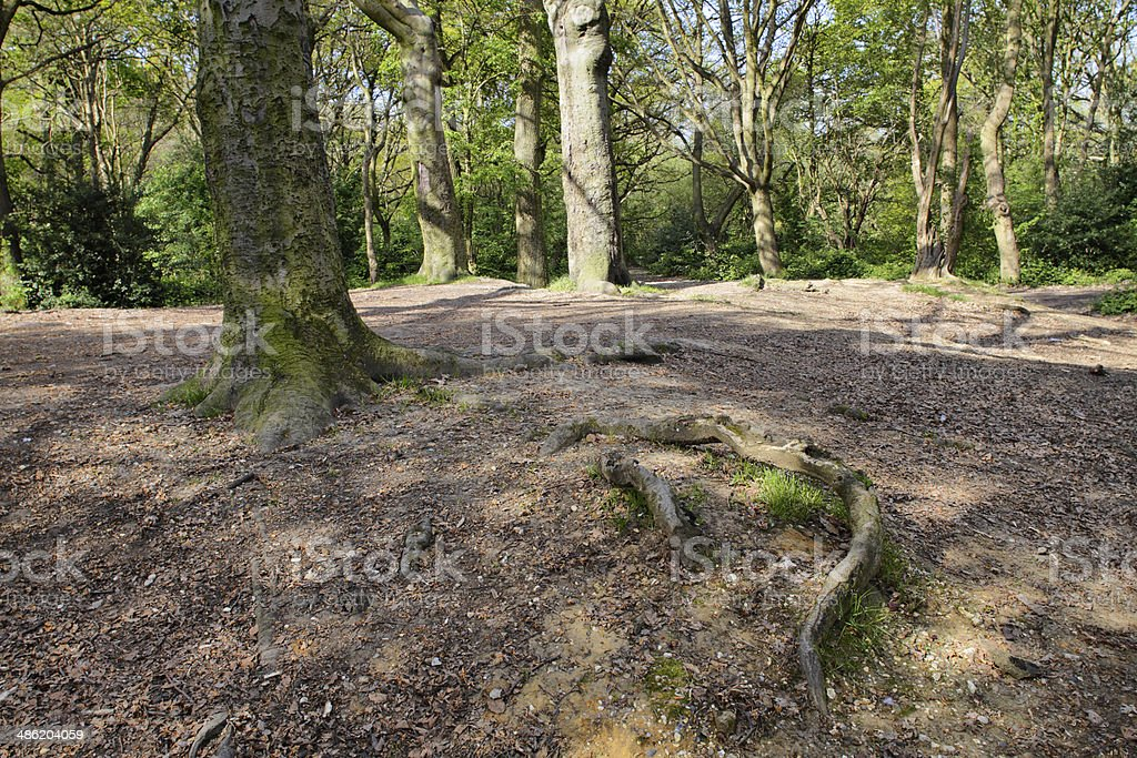 Woodland tree roots on Tooting Common London stock photo