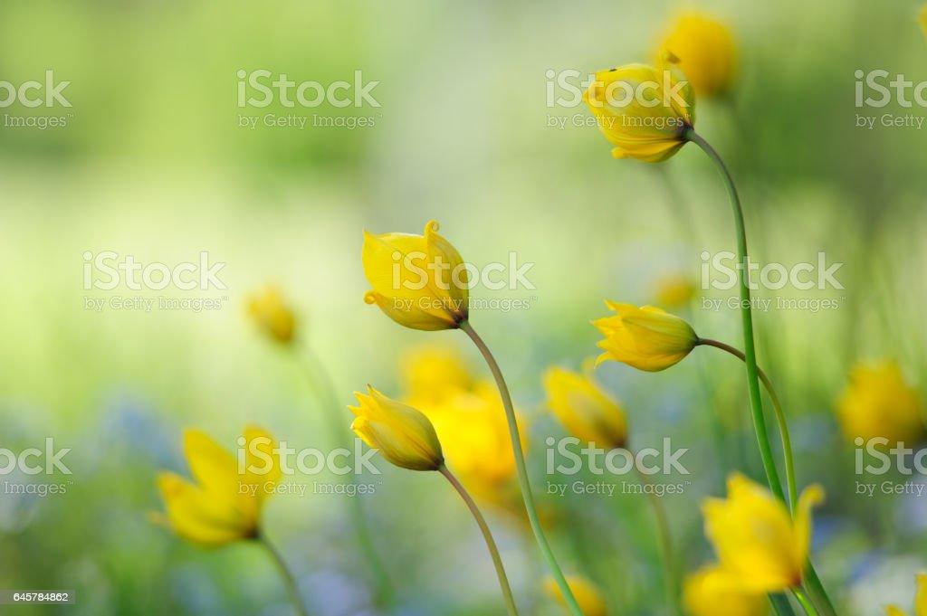Woodland tulips, Wild tulips stock photo