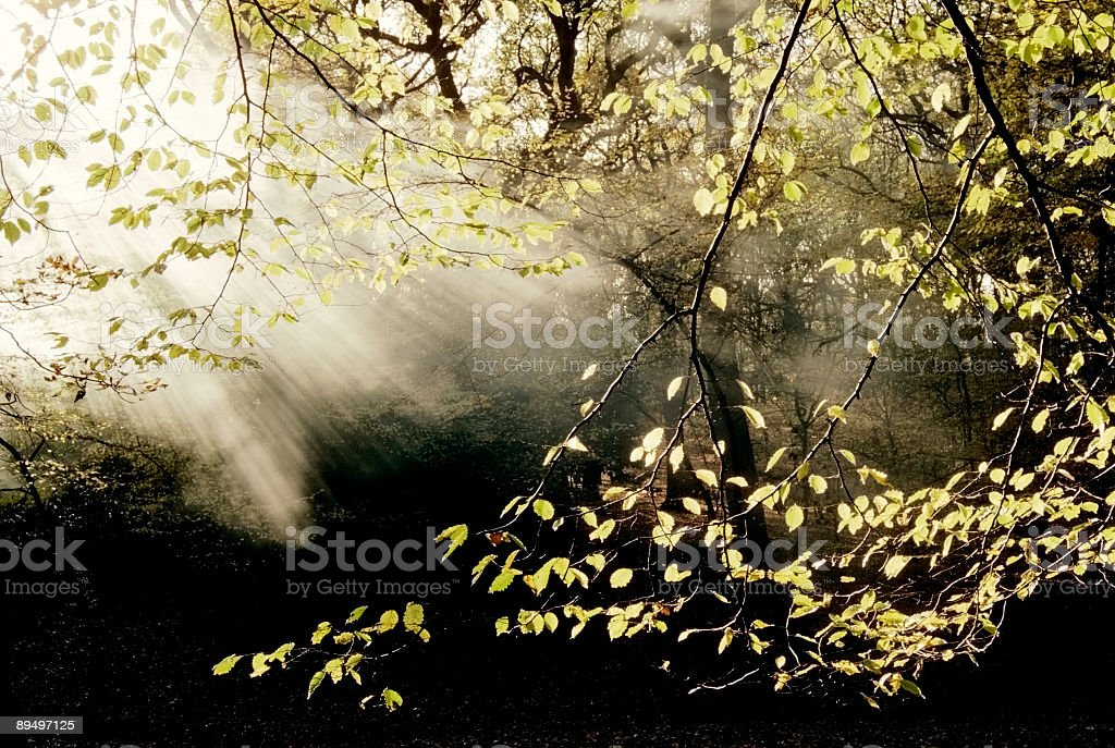 woodland with mist royalty-free stock photo