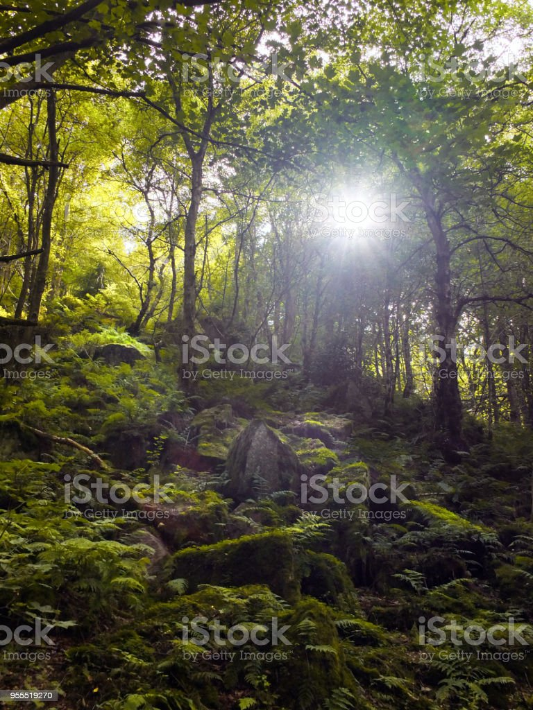 woodland with sunlight shining though the trees rocks and boulders covered in ferns and moss stock photo