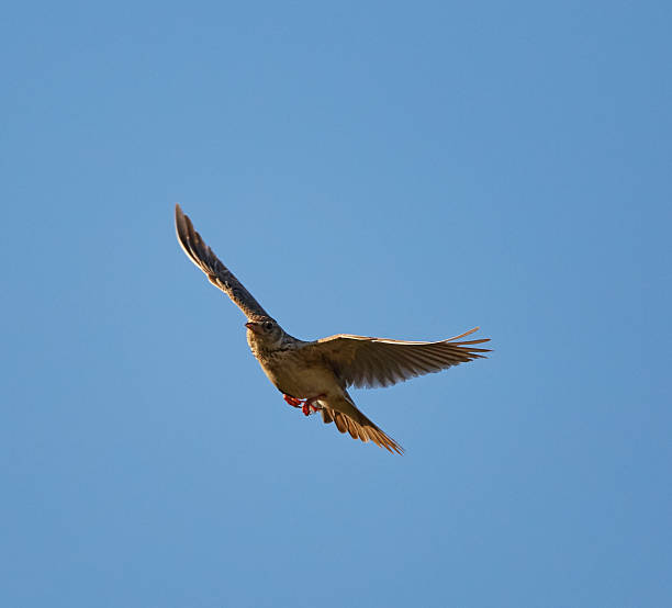 Woodlark in flight stock photo