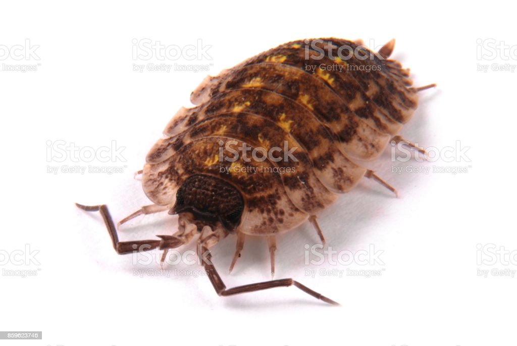 Woodlice (Porcellio scaber) isolated stock photo