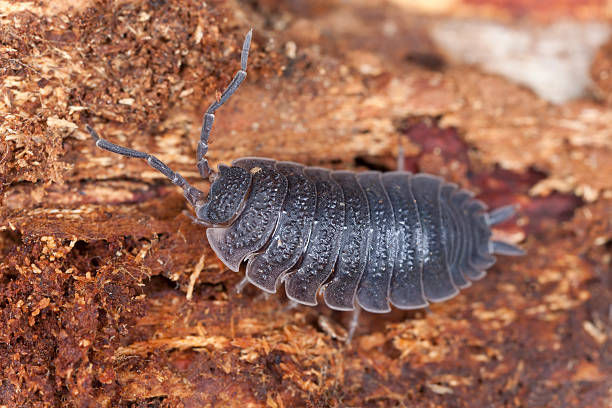 Woodlouse, extreme macro close-up with high magnification stock photo