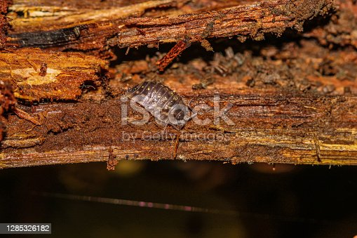 A single woodlouse isopod on brown wet rotting wood