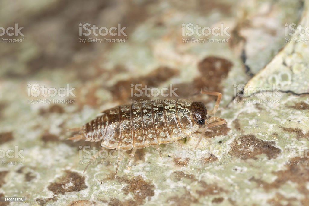 Woodlouse on wood, extreme close-up royalty-free stock photo