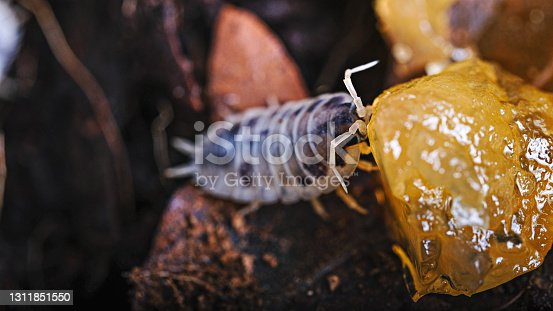 Woodlouse sow bug crustacean