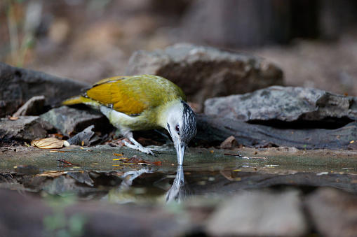 Beautiful adult female Grey-headed woodpecker, grey-faced woodpecker or Black-naped woodpecker, low angle view, front shot, in the morning eating water on the wild stream in nature of tropical forest, in national park of central Thailand.