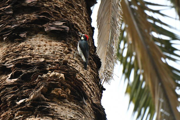 woodpecker on a palm tree - steven harrie stock pictures, royalty-free photos & images