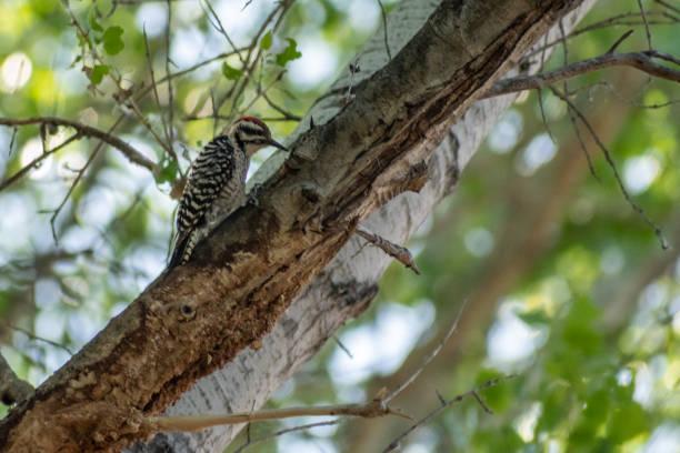 Woodpecker on a tree branch stock photo