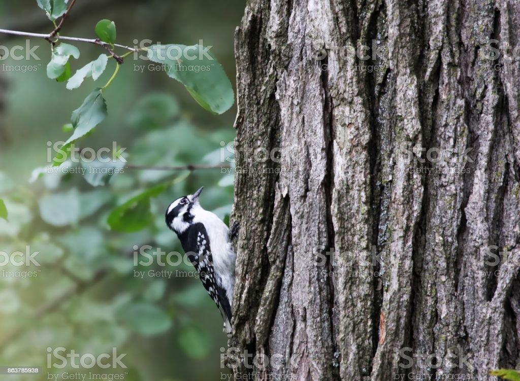 Woodpecker on a tree stock photo