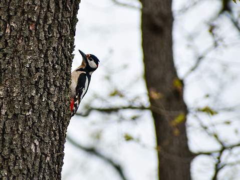 A small black white and red woodpecker on a tree
