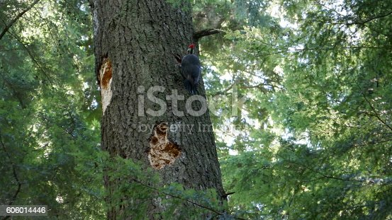 The Pileated Woodpecker is one of the biggest, most striking forest birds in North America.