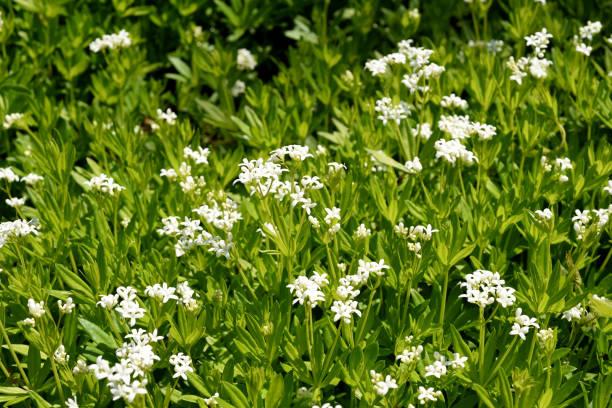 Woodruff, Galium, odoratum – Foto