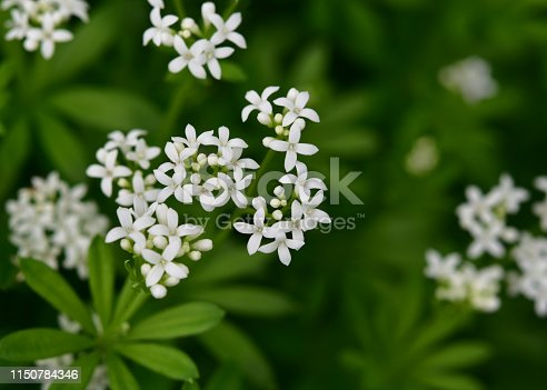 Little white blossoms and leafs of woodruff in nature