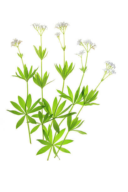 Woodruff (Galium odoratum) – Foto