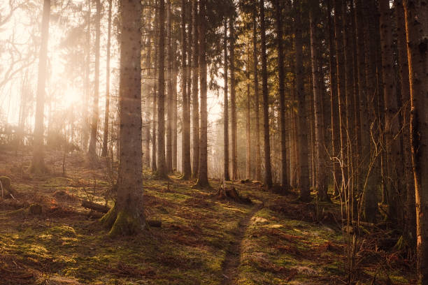 woods skog med solsken solstråle dimma och vacker ljus stråle - pine forest sweden bildbanksfoton och bilder