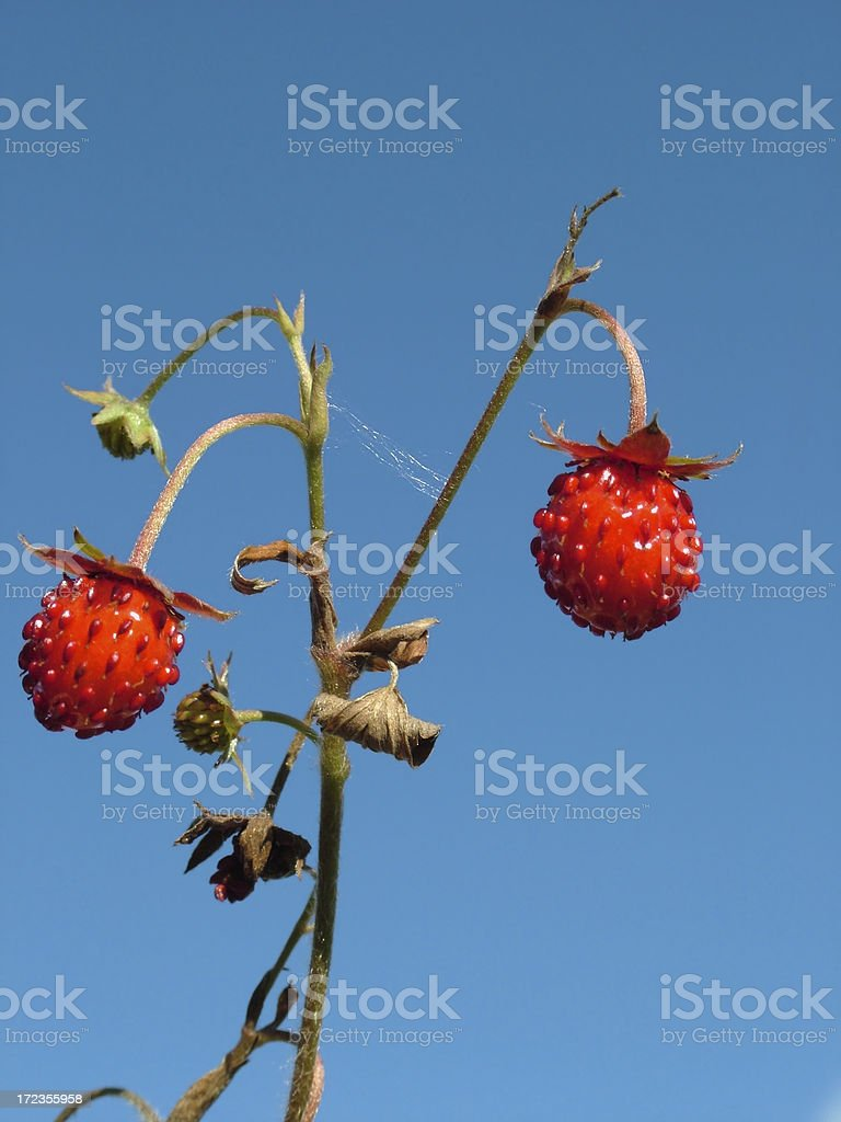 Woods Strawberry royalty-free stock photo