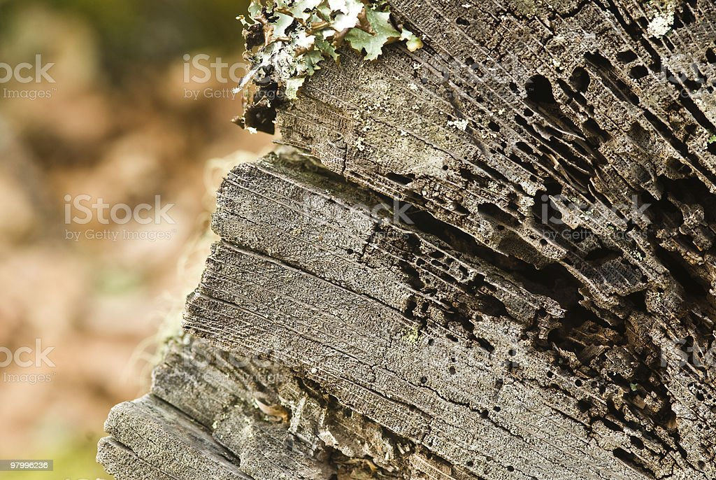 woodworm royalty-free stock photo
