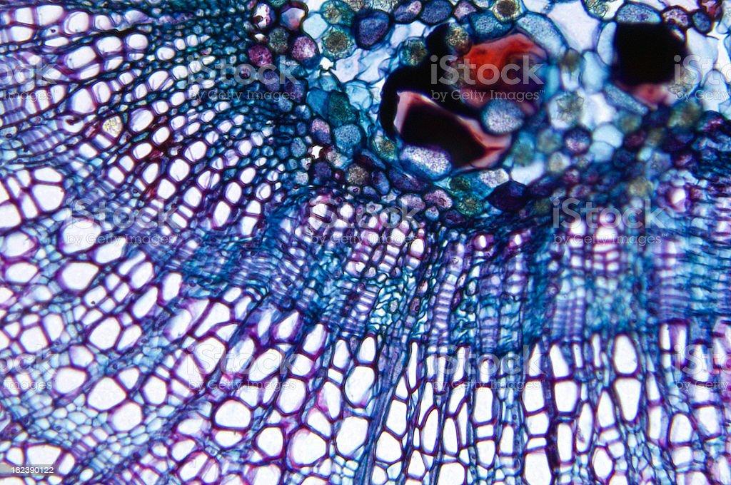 Woody Dicotyledon TS stock photo