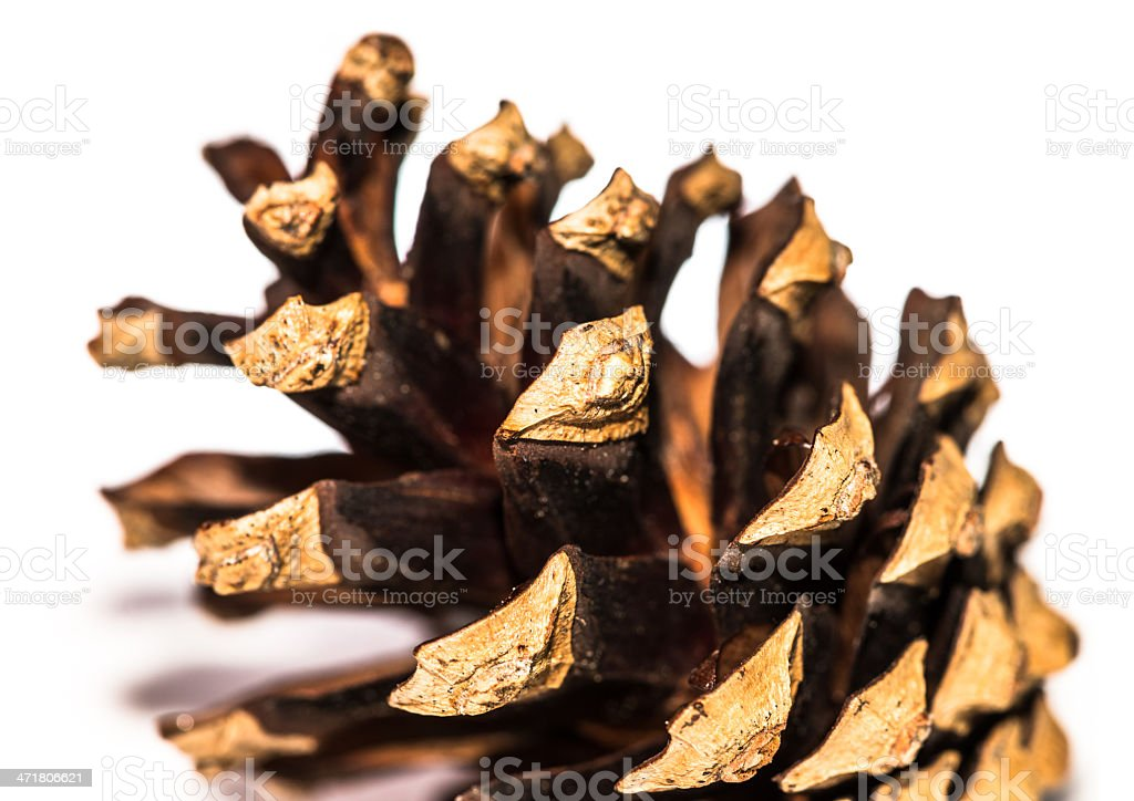Woody Seed Pod royalty-free stock photo