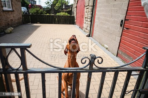 A front-view shot of a cute Hungarian Vizsla dog sitting next to a garden gate, he is barking.