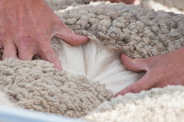 Wool Classing in Australia. Isisford Queensland town  annual sheep show. merino sheep stock pictures, royalty-free photos & images