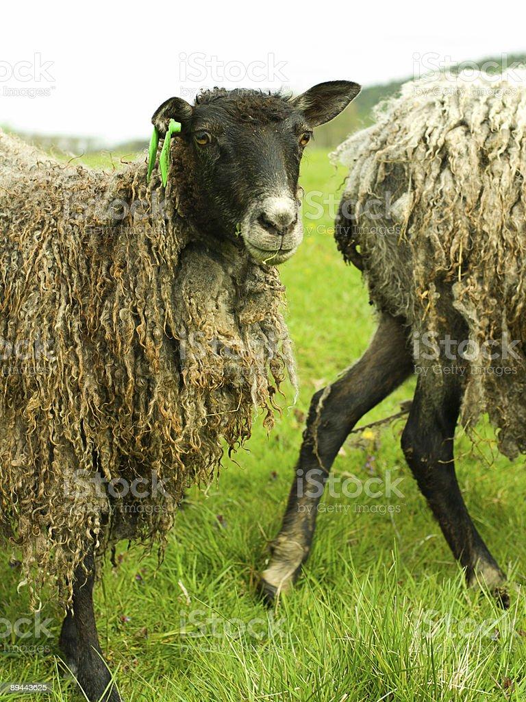 Wool sheep royalty-free stock photo