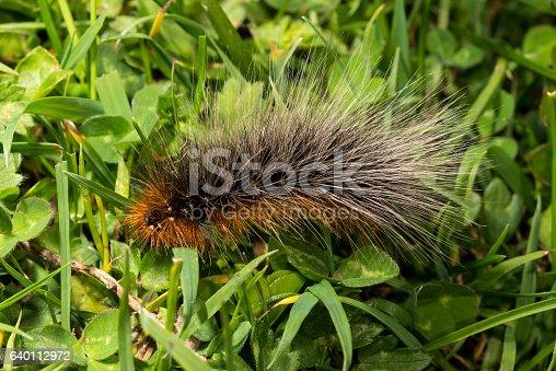 istock Woolly Bear caterpillar of the Garden Tiger Moth 640112972