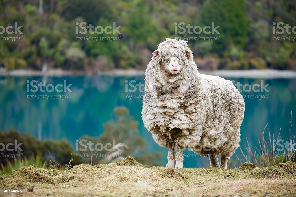 Woolly Dreadlocks stock photo
