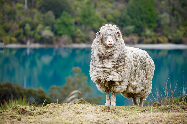 Woolly Dreadlocks An overly woolly sheep looks across the paddock with turquoise waters in the background. merino sheep stock pictures, royalty-free photos & images
