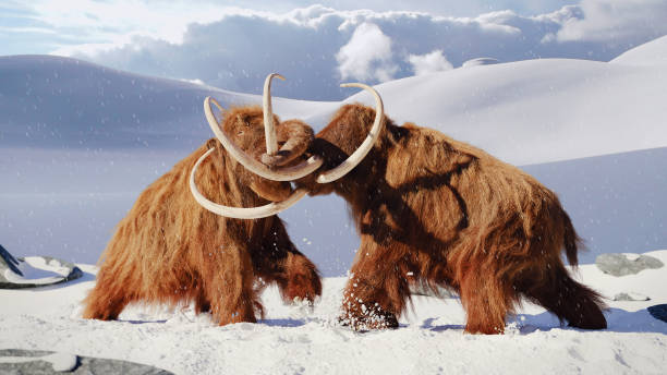 yünlü mammoth manzara donmuş kar dövüş, tarih öncesi buz devri memelilerde bulls - omurgalı stok fotoğraflar ve resimler