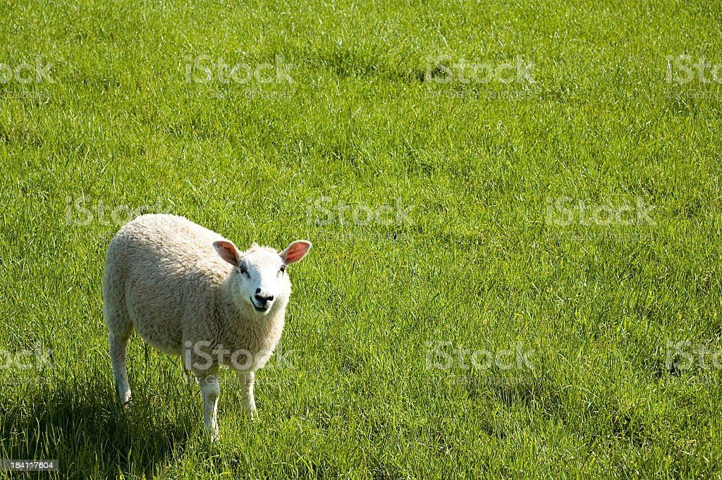 Woolly Sheep in Grass royalty-free stock photo