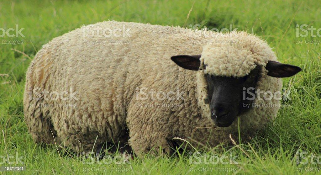 woolly sheep stock photo
