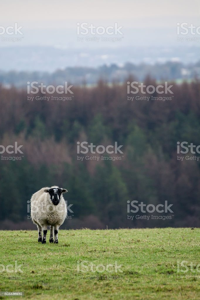 Woolly Sheep Standing On Green Grass. stock photo