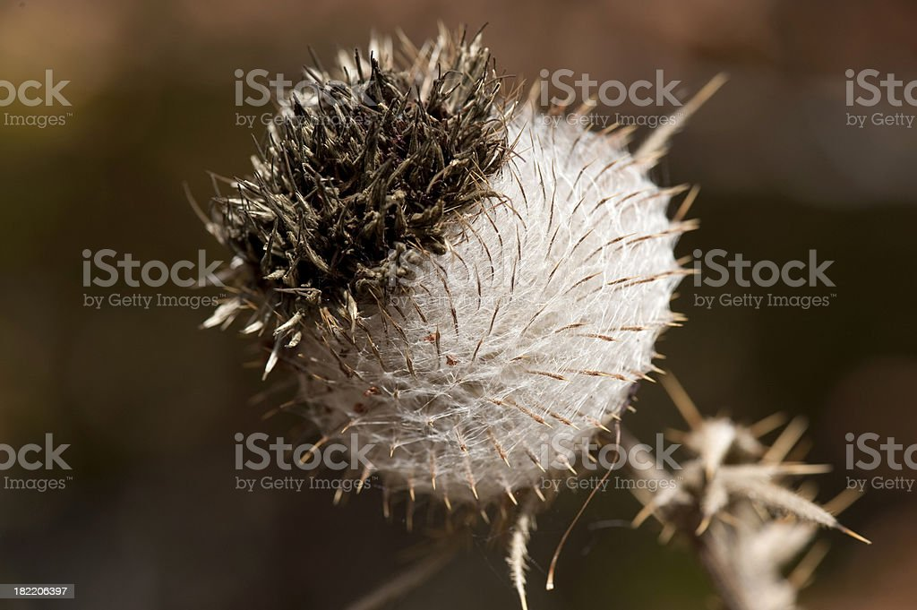 Woolly thistle royalty-free stock photo