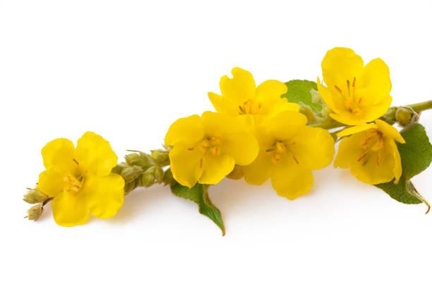 Wollige toorts (Verbascum phlomoides). De bloemen en bladeren zijn onbeduidend, antiseptisch, samentrekkend, verzachtend, verzachtend, slijmoplossend, borst-en vulnerar foto