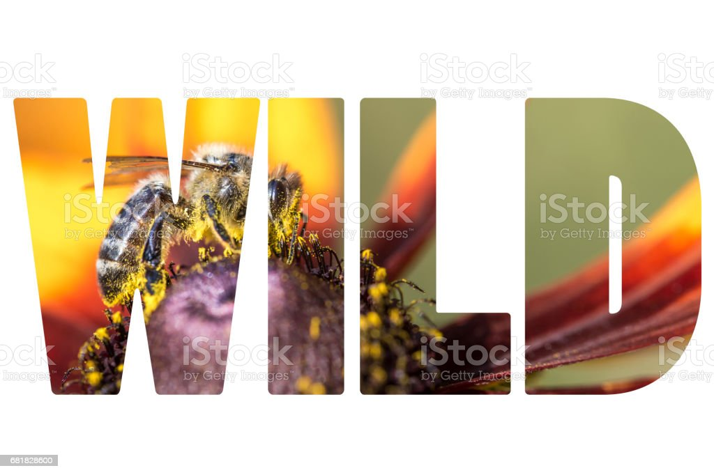 Word WILD Bee gathering nectar and spreading pollen. stock photo