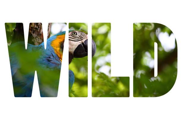 palavra selvagem sobre um closeup de arara azul e amarela - arara vermelha retrato - fotografias e filmes do acervo