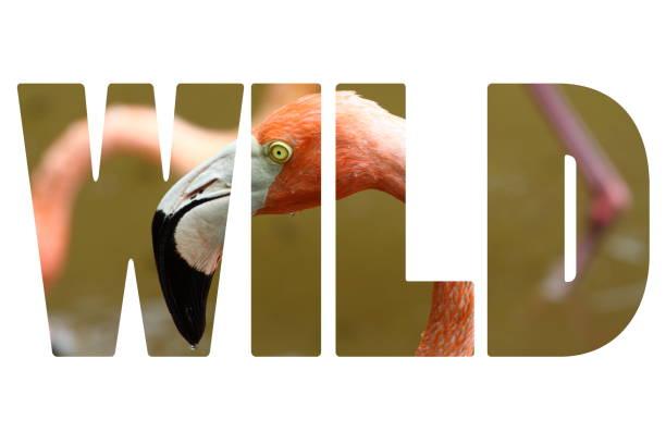 palavra selvagem sobre flamingo rosa do caribe - arara vermelha retrato - fotografias e filmes do acervo