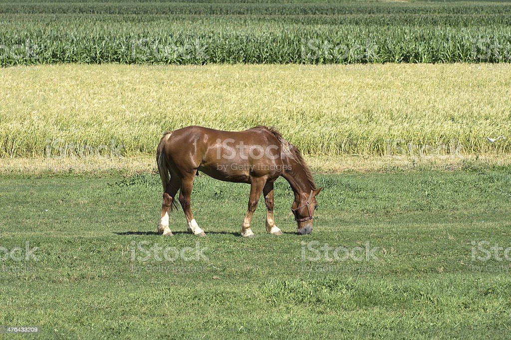 Work Horse Grazing in Pasture royalty-free stock photo